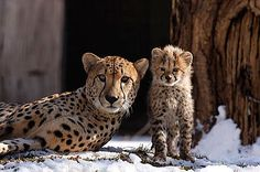 Tumai and one of her cubs in 2005 at the National Zoo. (Photo by Jessie Cohen) http://nationalzoo.si.edu/publications/pressmaterials/pressreleases/press-release.cfm?id=584