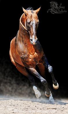 Akhal-Teke horse Маслахат (Maslakhat)