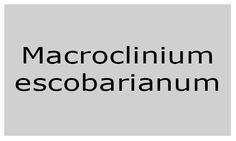 Macroclinium escobarianum
