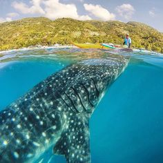A whale shark coming up to the surface in Oslob, Cebu, Phillipines Islands. Photography by: @jaypeeswing