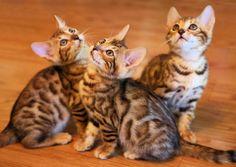 Bengal kittens - beautiful