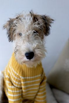 #welsh #terrier
