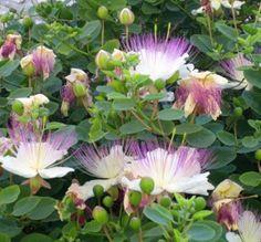 Caper Bush Seeds (Capparis spinosa) Use as Medical & Culinary Herb-Perennial