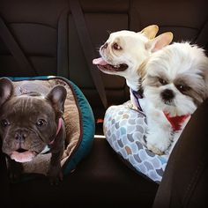 #Tbt to that time we carpooled with our friend Ned on a 6 hour car ride and things got cray. . . . #frenchiesofnyc #frenchiesofinstagram #instadog #frenchies #frenchielove #bluefrenchie #frenchiepuppy #puppies #dogincar #chiptini