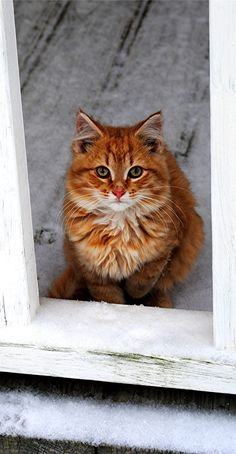 Beautiful long haired orange cat.
