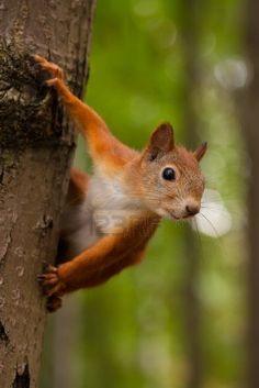 Bosbewoner die ik heel graag zie rondscharrelen in de boomtakken... de rode eekhoorn.