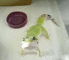 Ridiculously Photogenic Gecko