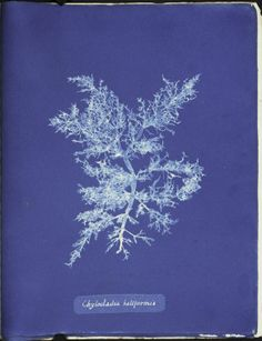 1844 cyanotype of a Chylocladia kaliformis algae by Anna Atkins. Atkins was a botanist, photographer and children's book author. Available in the @New York Public Library Digital Gallery.