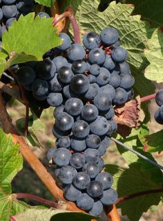 Pinot noir wine grapes from Mosel in Germany. Wine Country Gift Baskets, Wine Baskets, Wine In The Woods, Vegetable Pictures, Wine And Food Festival, Pinot Noir Wine, Wine Vineyards, Fruit Picture, Types Of Wine