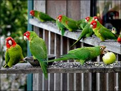 Wild parrots of San Francisco spread to the 'burbs