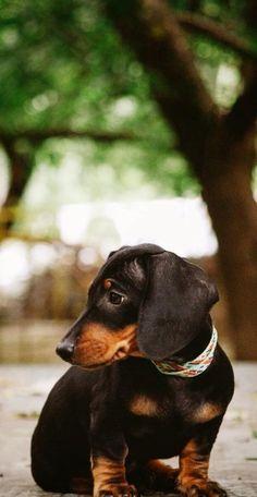 .Beautiful black and tan dachshund.