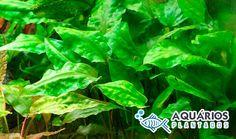 Planta de agua para aquário plantado Cryptocoryne Pontederifolia.