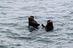 Otters frolic and play in the water - June 15, 2012