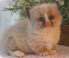 Munchkin Kitten- my daughter wants one!