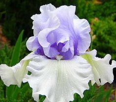 dahlia rabatt Bonsai Iris Flower Perennia Flower Rare Flower bearded iris , Nature plants Orchid flower DIY for Garden - Bonsai Iris Flower Perennia Flower Rare Flower bearded iris , Nature plants Orchid flower DIY -