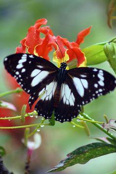 Marsh Tiger Butterfly