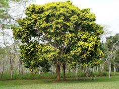 árvore pau brasil - símbolo da região sudeste