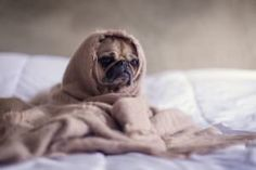Tenants may come to you and tell you they have an emotional support animal. Here's what emotional support animal laws say you can and can't enforce when it comes to your pet policy. Cute Puppies, Cute Dogs, Carlin, Emotional Support Animal, Dog Anxiety, Anxiety Humor, Test Anxiety, Dog Training, Pug Dogs