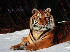 :::: Anubis Wallpapers ::::: Wild Cats