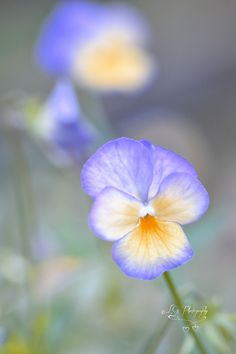 ~~Color Me Happy | Pansy by L G~~