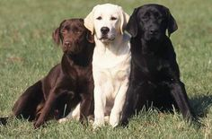 Labrador Retrievers are playful, big dogs. Enjoy amazing wallpaper images of a Labrador dog or puppy with every New Tab. Pet Dogs, Dog Cat, Pets, Doggies, Smartest Dog Breeds, Most Beautiful Dog Breeds, Labrador Retriever Dog, Labrador Dogs, Beagle