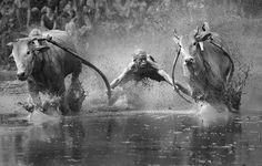 L'mage du jour : Course de bétail dans la ville de Padang, à Sumatra, en Indonésie