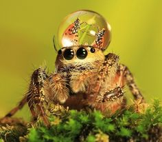 Uda Dennie from Batam Island, Indonesia, can prove you that spiders are actually not all as scary as you might be used to thinking.  33-year-old photographer presents a series of macro photos, where he captures tiny jumping spiders, wearing water droplets as fancy hats on their heads. There's something about this unexpected composition that makes the tiny creatures look pretty silly, and definitely far away from terrifying!