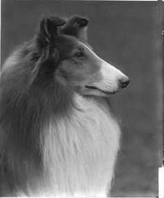 rare, extremely fragile glass negatives by Rudolph Tauskey, dating to the early 1920s. The image we share here is from a glass negative Tauskey made of Collie Int. Ch. Bellhaven Laund Logic, out of Florence B. Ilch's famous Bellhaven kennel at Red Bank, New Jersey. We date it circa 1922, the year Mrs. Ilch imported Laund Logic from England.