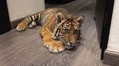This is Achilles, a Sumatra Tiger. He was rescued in 4/2016 from a breeder in Mexico. When Achilles arrived at the Black Jaguar white Tiger Sanctuary, in Mexico, this guy could not walk! He was also was malnourished and had a extremely low calcium level. Today Achilles is happy, health and lives with three out Big Cats his age!