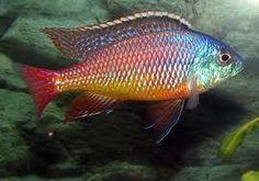 Red Empress Cichlid - Protomelas Taeniolatus 4cm Cichlid Live Tropical Fish at Aquarist Classifieds