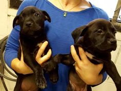 RESCUED!!! URGENT!!! PUPPIES! ONLY 7 WEEKS OLD!!! This DOG - ID#A454135  I am a female, black and white Labrador Retriever.  The shelter staff think I am about 7 weeks old.  I have been at the shelter since Mar 05, 2016. Harris County Public Health and Environmental Services, 612 Canino Road Houston, TX 77076 Phone Number: (281) 999-3191 Fax Number: (281) 847-1911