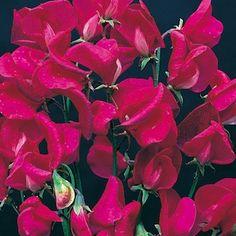 Zorija Rose Sweet Pea, Flowering Vine Garden Seeds
