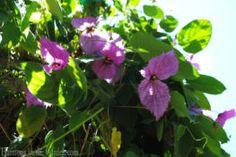 Dalechampia dioscoreifolia (Costa Rica Butterfly Vine)