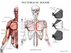 The Art of Andrew Ameral Anatomy Back, Anatomy Study, Anatomy Reference, Body Tutorial, Anatomy Tutorial, Human Anatomy Drawing, Anatomy Sketches, Anatomy For Artists, Cg Artist