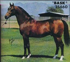 Bask Arabian Stallion Horse   bask is the only stallion to be a u s national champion stallion and ...