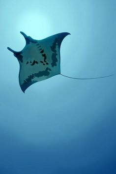 Loved swimming with Manta Rays Underwater Animals, Underwater Pictures, Underwater Creatures, Ocean Creatures, Ocean Underwater, Underwater Photography, Animal Photography, Marine Photography, Film Photography