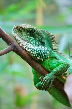 Chinese water dragon (Physignathus cocincinus) is a species of agamid lizard native to China and Indochina. It is also known as Asian water dragon, Thai water dragon, and green water dragon.