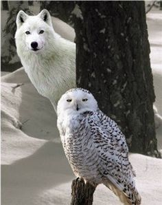 White Owl Wolf Photo: This Photo was uploaded by IdahoGlenda. Find other White Owl Wolf pictures and photos or upload your own with Photobucket free ima. Wolf Spirit, My Spirit Animal, My Animal, Beautiful Creatures, Animals Beautiful, Cute Animals, Tier Wolf, Wolf Hybrid, Owl Pictures