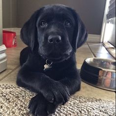 Adorable black lab puppy!