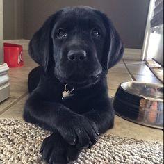 Adorable black lab puppy!