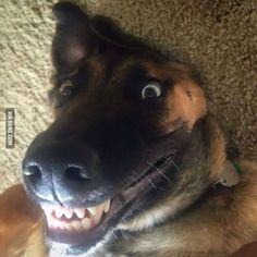 682 Best Funny Gsd Images Dogs German Shepherd Dogs Funny Dogs