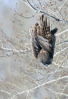 Great Grey Owl (Strix nebulosa) Verticle Decent Photo by Stu McKay -- National Geographic Your Shot Owl Photos, Owl Pictures, Names Of Birds, Strix Nebulosa, Owl Wings, Owl Books, Funny Owls, Whimsical Owl, World Birds