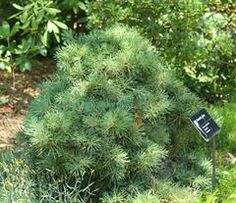Pinus sylvestris 'Repens', up to 1 ft tall, like groundcover, low version of Scots Pine,