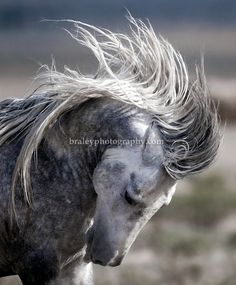 A wild horse's mane flies as it rears its head at a watering hole in central Utah, July 25, 2009. With wide expanses of public land, Utah su...