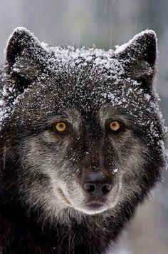 Warrior the Wolf?
