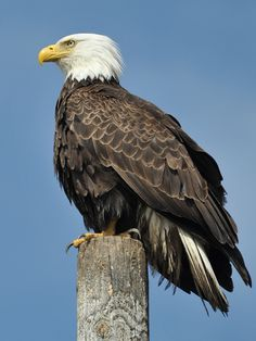 Bald Eagle at Homer Spit, Alaska by Heribert Wettels