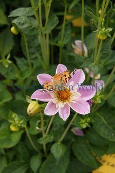 Dahlia Impression Famosa - Dutch Garden World