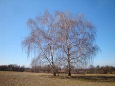 typische burgenländische Landschaft - mit zwei Birken mittendrin.
