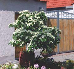 CORNUS kousa var. chinensis OSBORN, Chinesischer Blumen-Hartriegel   Pflanzen…