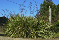 low growing new zealand flax - Google Search